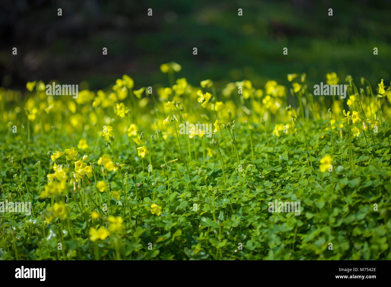 Yellow Flowers Of Oxalis Pes Caprae Bermuda Buttercup Invasive