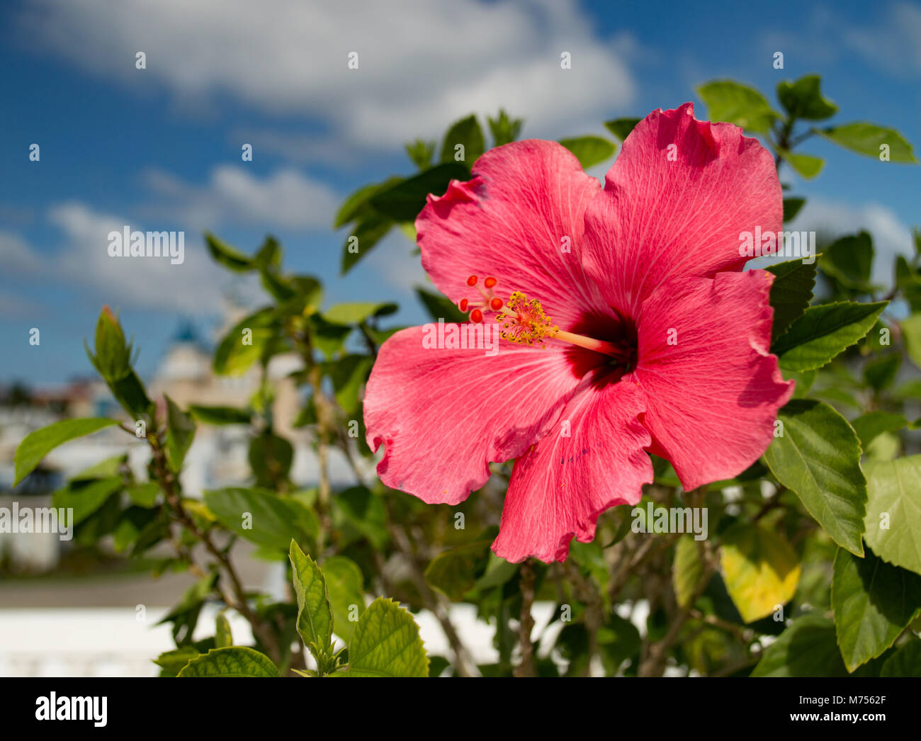 A beautiful bright gorgeous large red hibiscus in flower in a a beautiful bright gorgeous large red hibiscus in flower in a natural tropical environment izmirmasajfo Gallery