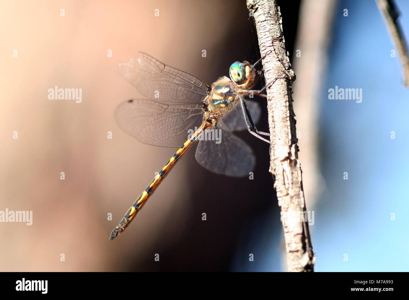 photo hemicordulia australiae australian dragonfly emerald stock