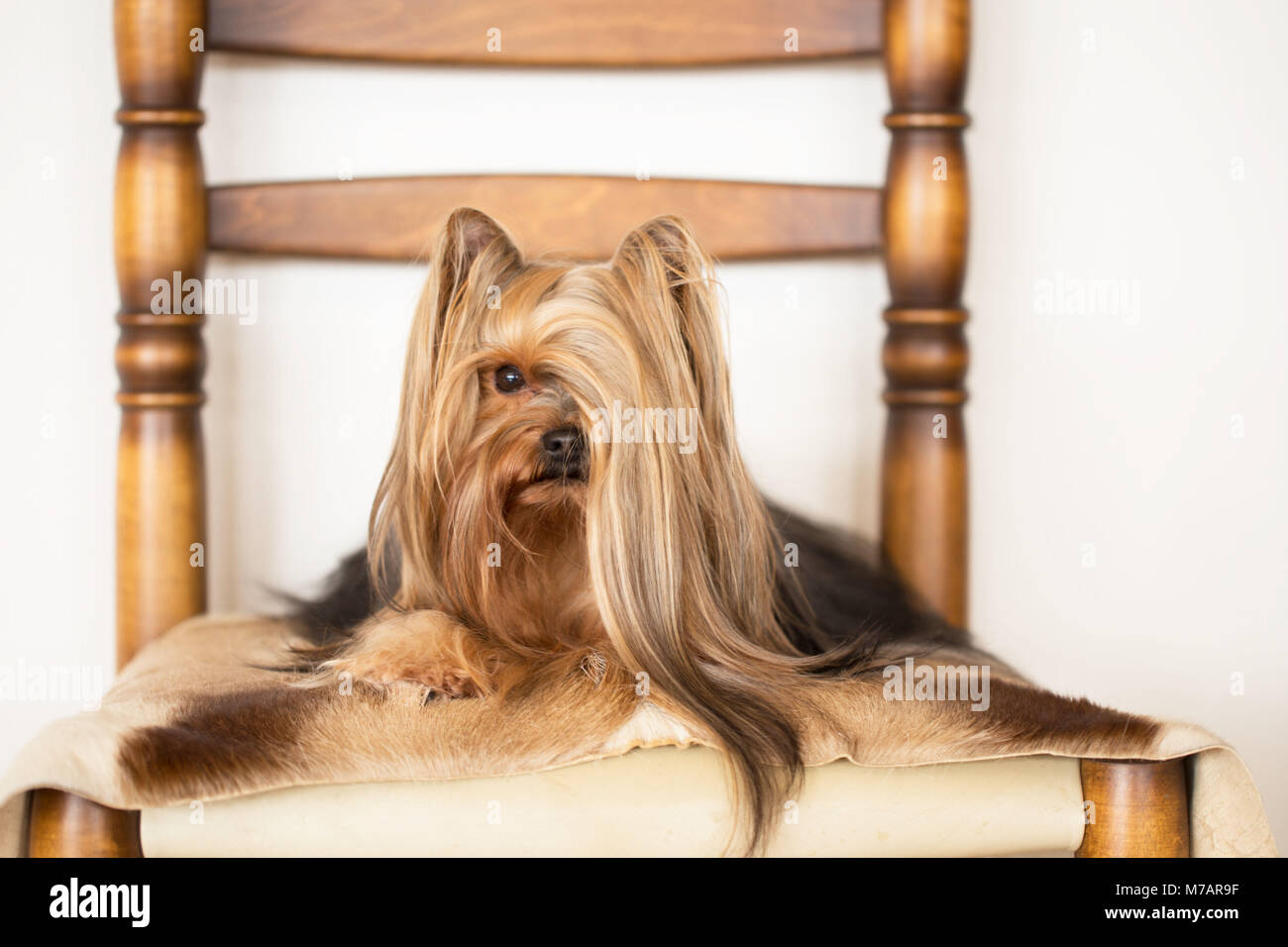 Yorkshire Terrier Portrait Long Haired Yorkie Lying On The Chair