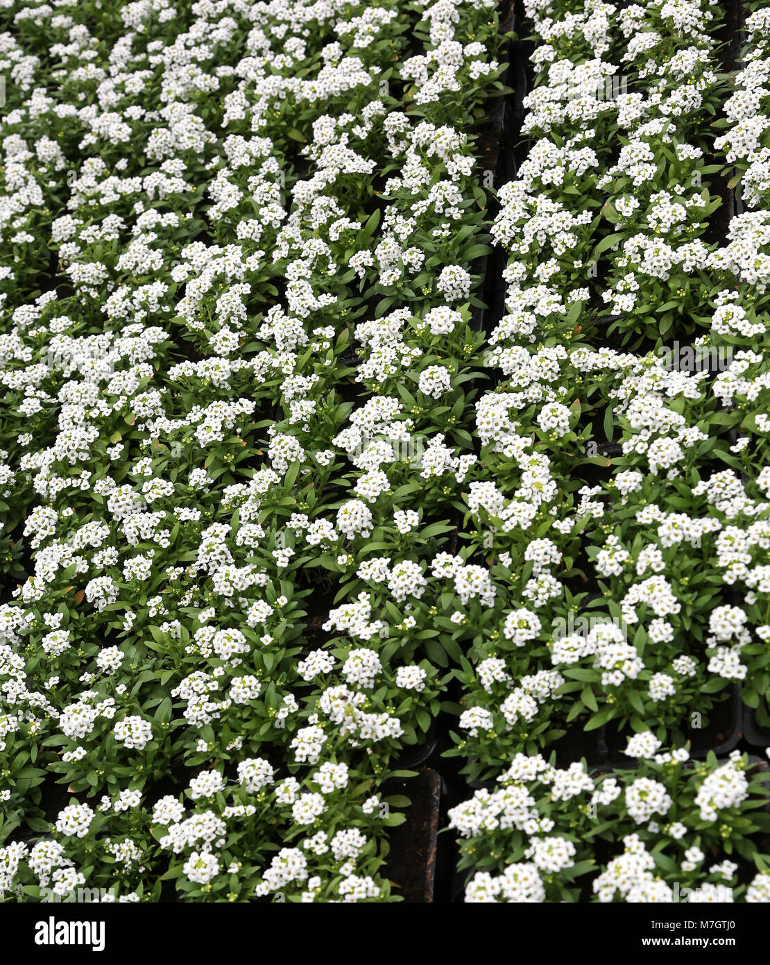 Background of small white flowers of lobularia maritima also called background of small white flowers of lobularia maritima also called alyssum for sale in a greenhouse mightylinksfo