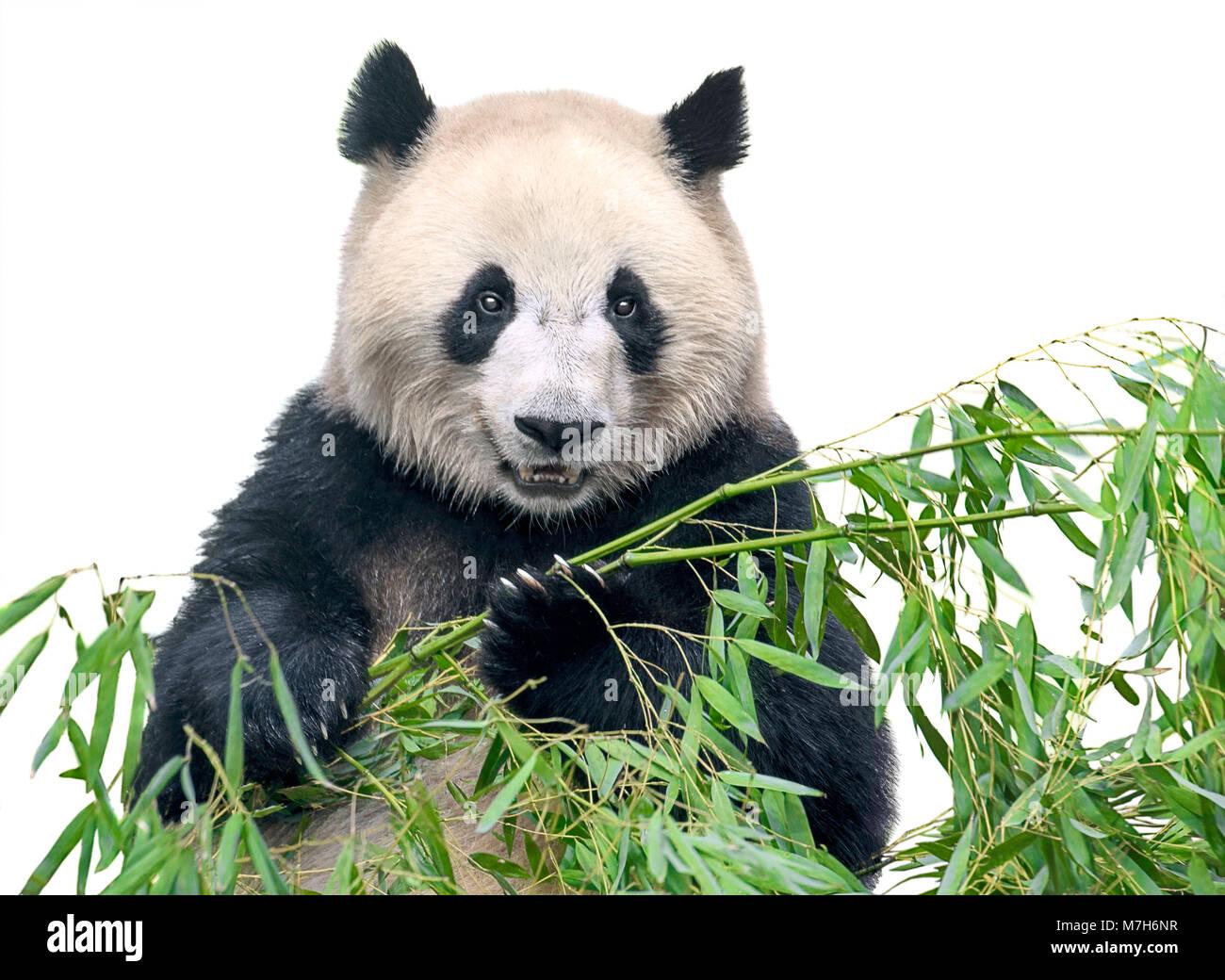 Big Panda, or Bamboo Bear: a description of where interesting facts live 32