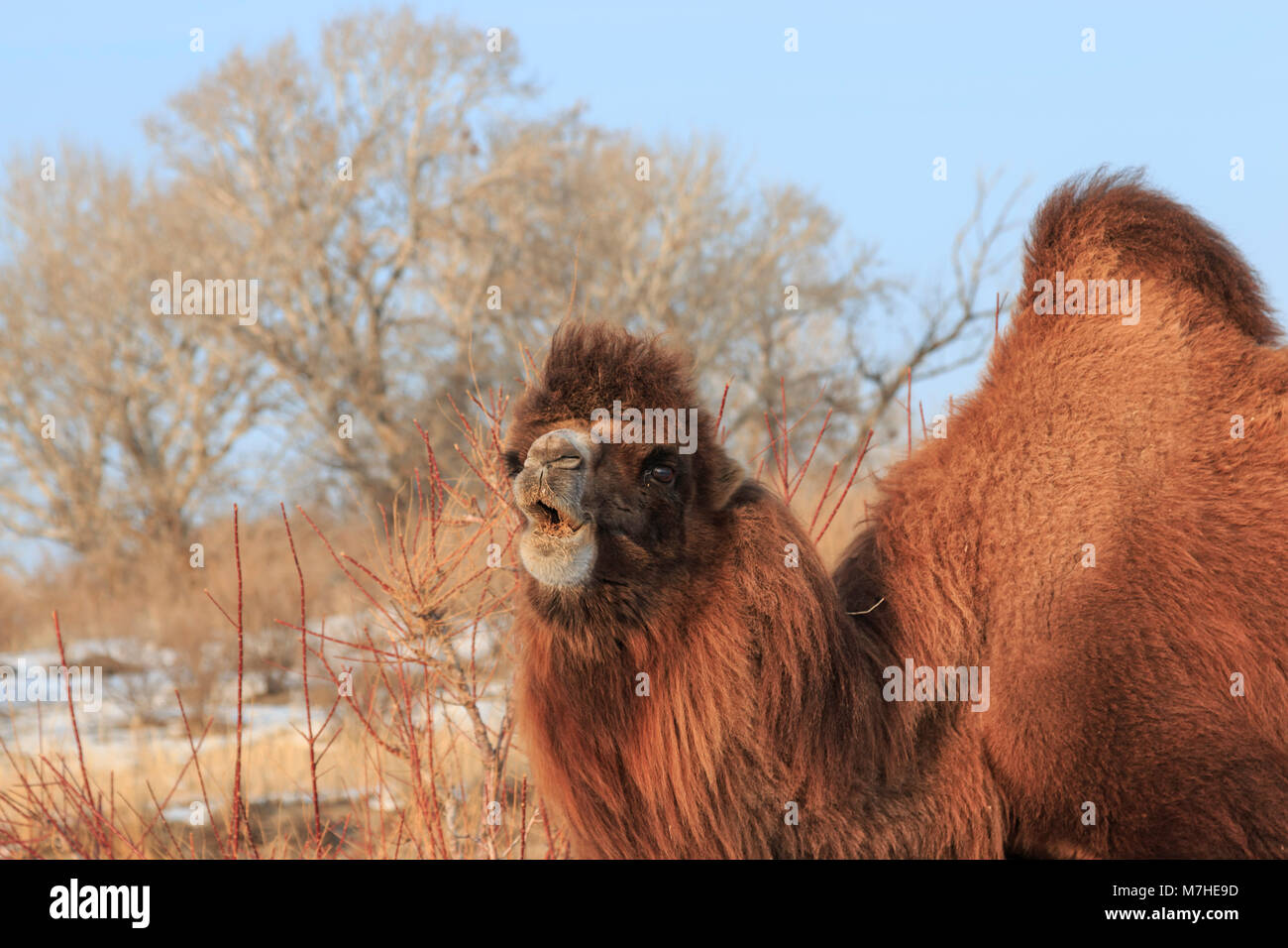 Two Humped Bactrian Camel In Xinjiang China Camelus Bactrianus
