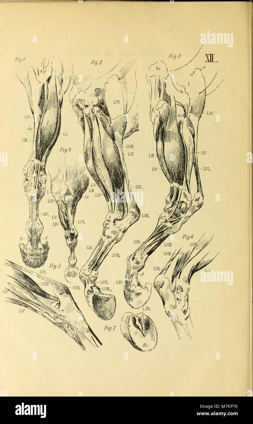 Blätter zur plastischen Anatomie des Pferdes nach natürlichen Stock ...