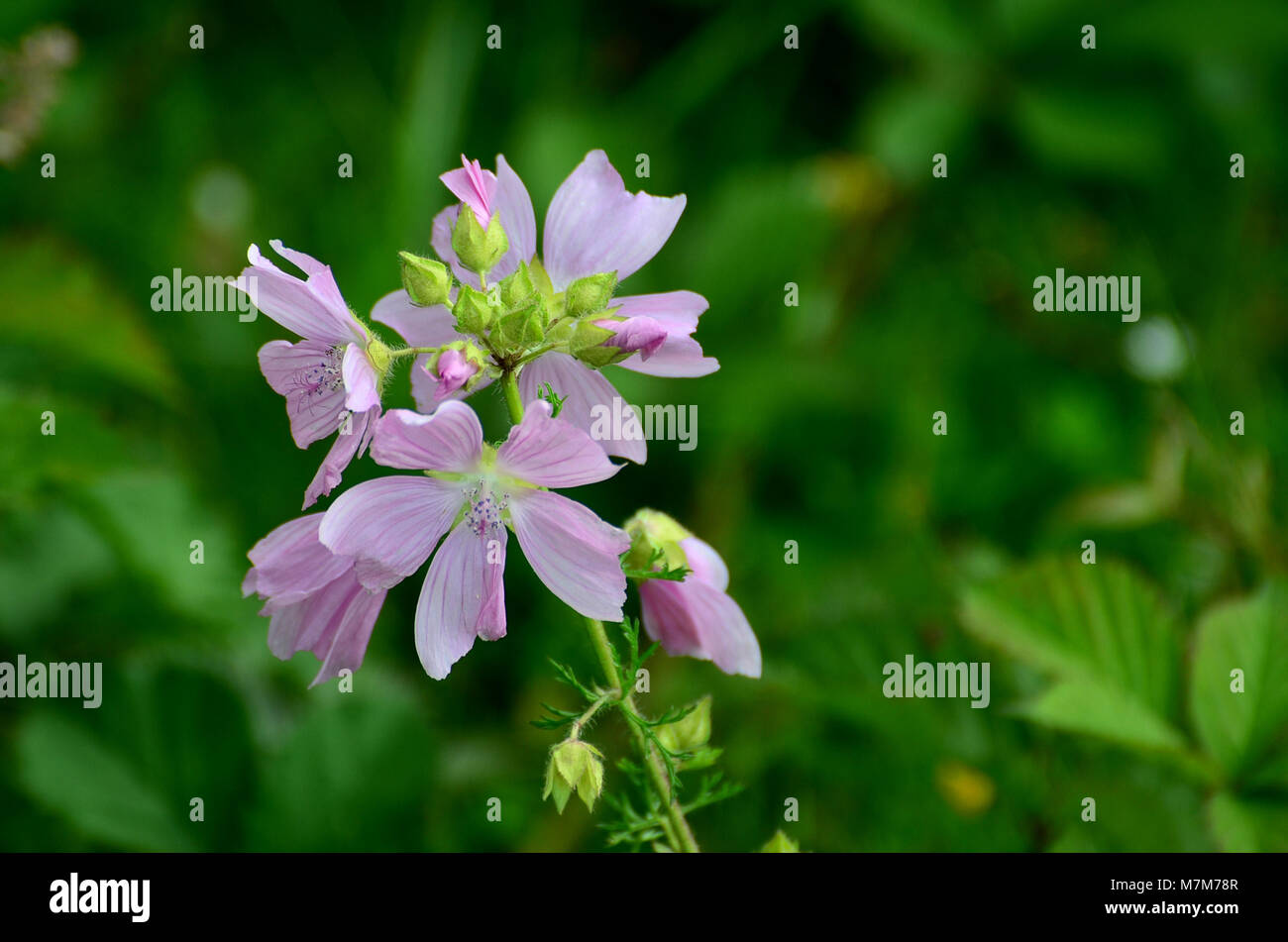 Mallow plant pink flowers uk wild flower stock photo 176851047 mallow plant pink flowers uk wild flower mightylinksfo