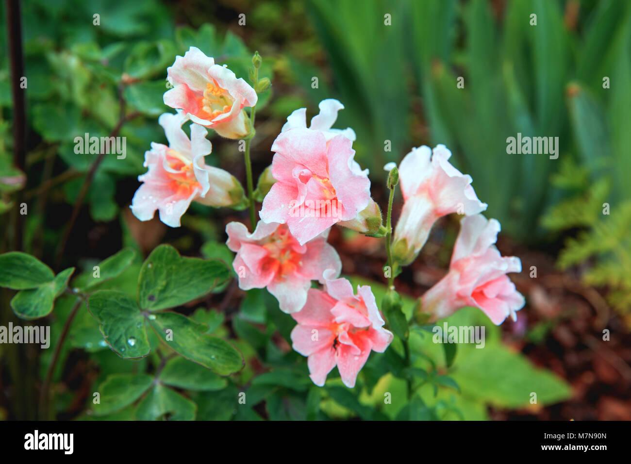 White Pink Snapdragon Or Antirrhinum Majus Close Up Snap Dragon