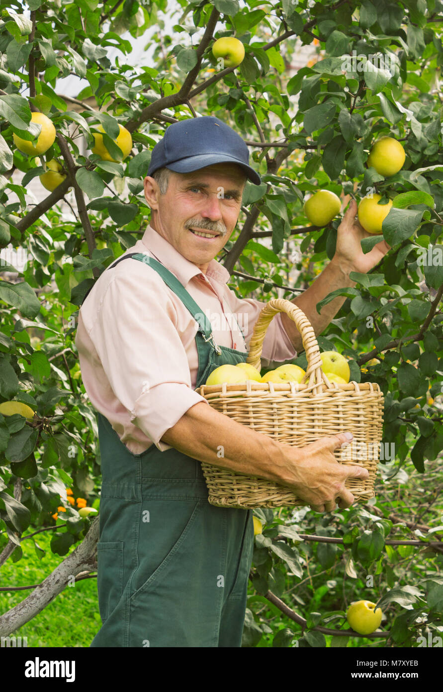 Man Picks The Ripe Apples In His Garden September