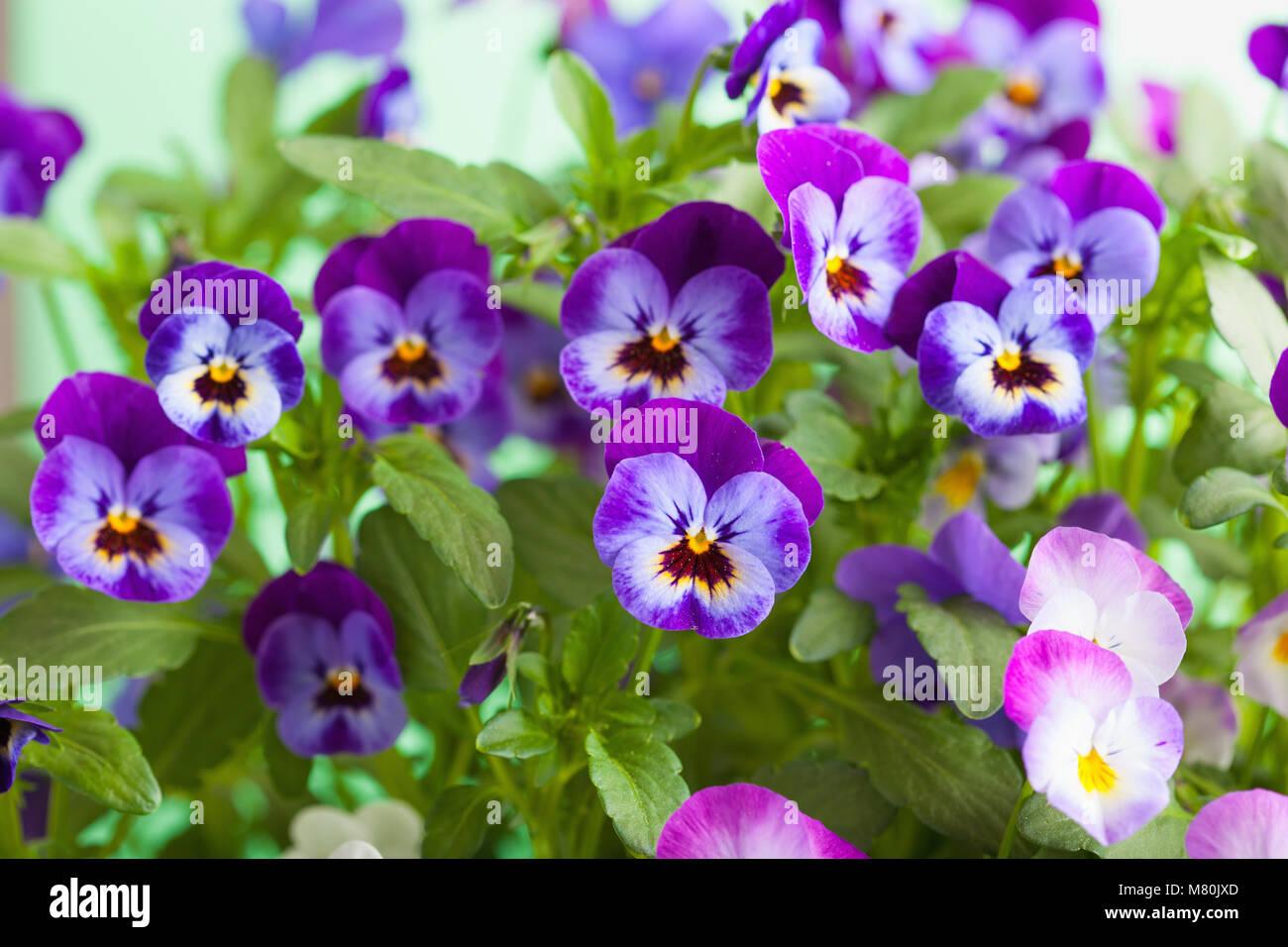 Beautiful pansy summer flowers in garden stock photo 177035781 alamy beautiful pansy summer flowers in garden izmirmasajfo