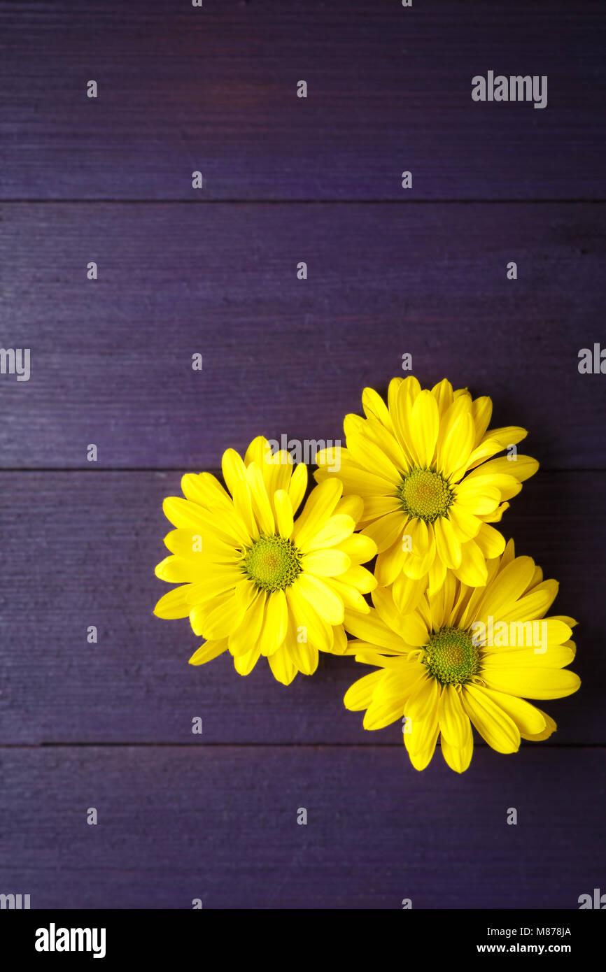 Three Yellow Mum Flowers On Deep Purple Background Stock Photo
