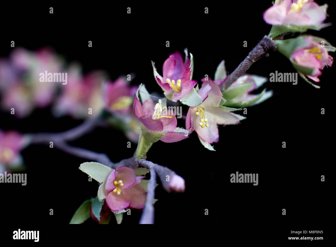 Delicate Spring Pink Sakura Flowers Isolated On Black Background