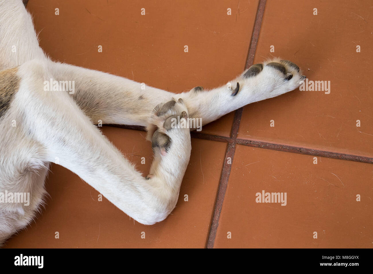 Canine anatomy the paws and legs of a domestic dog image with copy ...