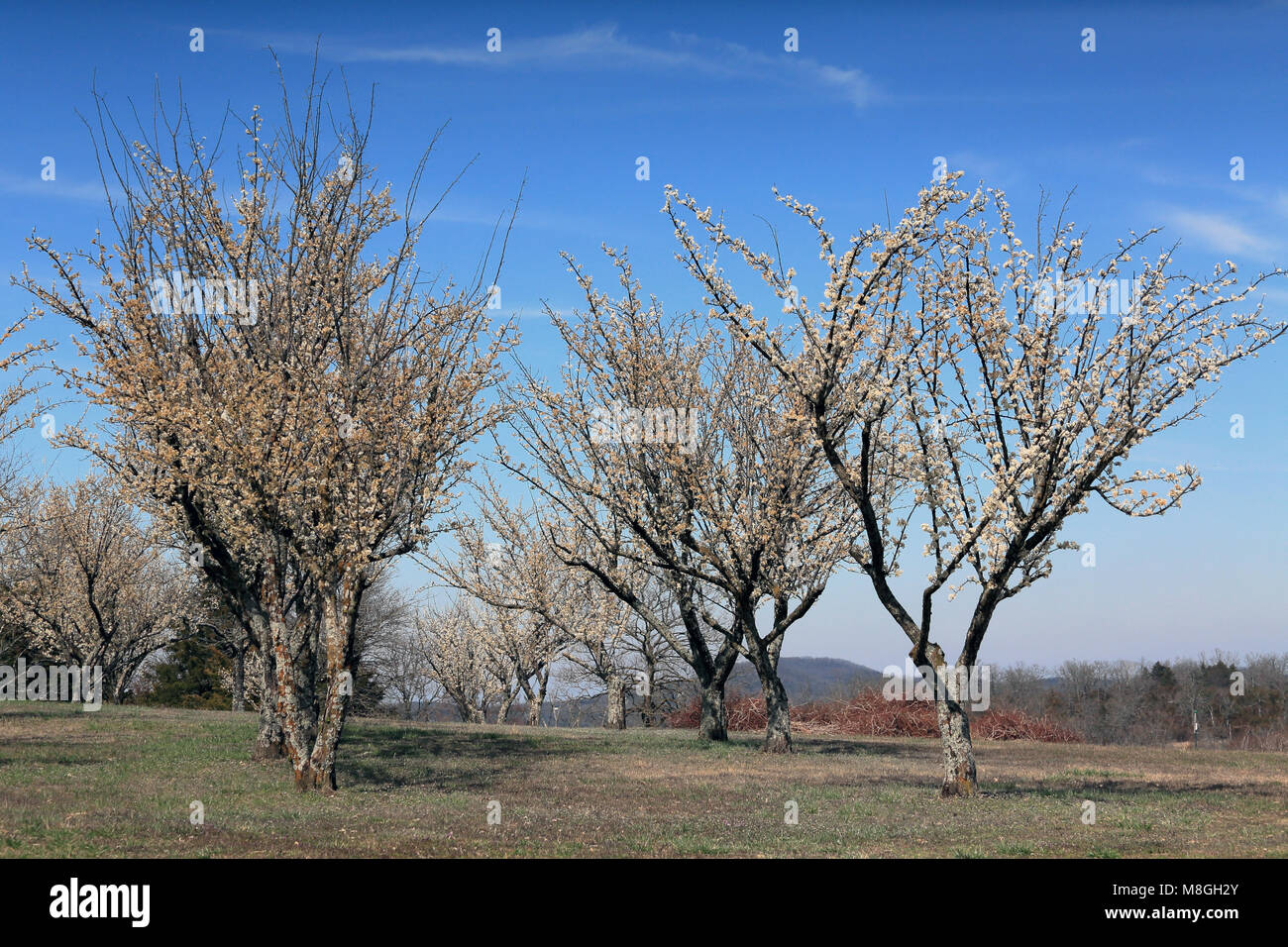 Plum Trees In Bloom At Persimmon Hill Farm In Lampe, Missouri. It Is A  Sunny Day With A Blue Sky And High White Clouds