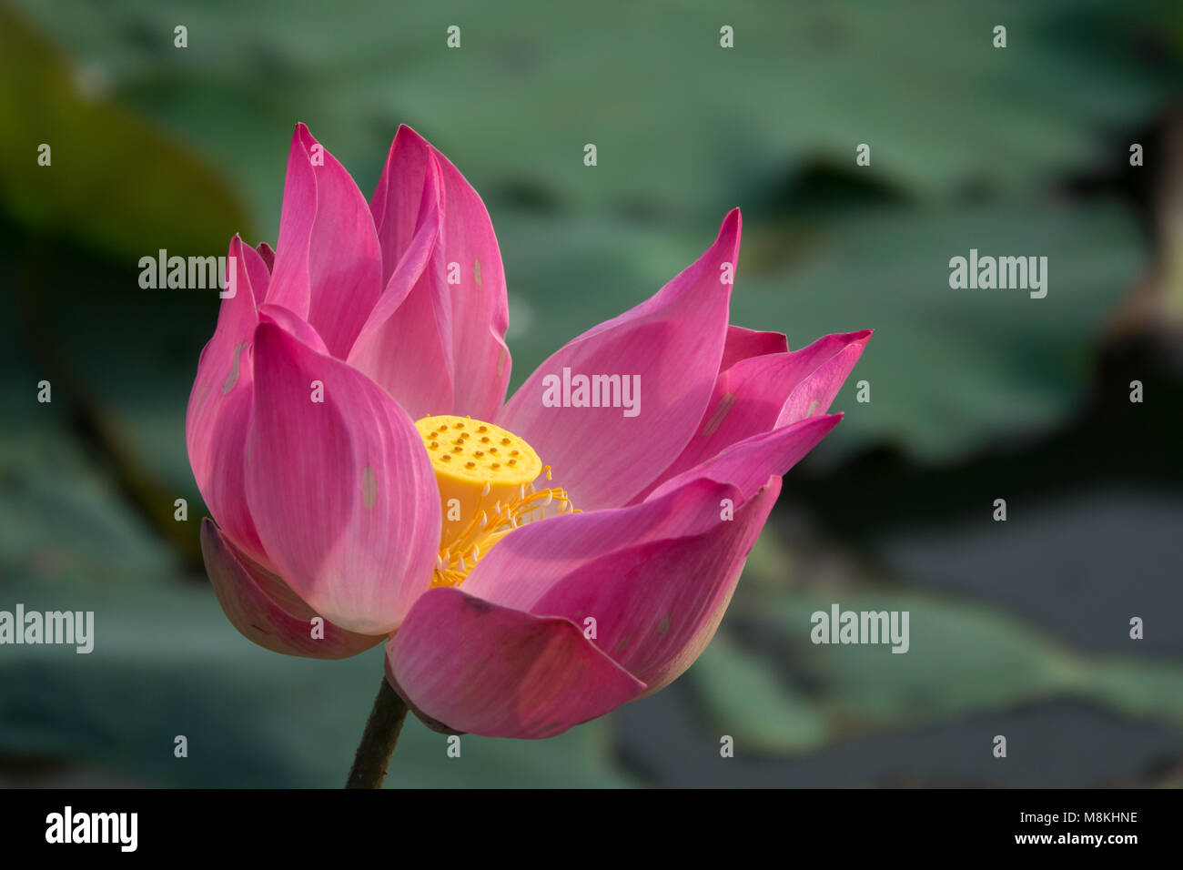 pink lotus flower royalty high quality free stock footage of a