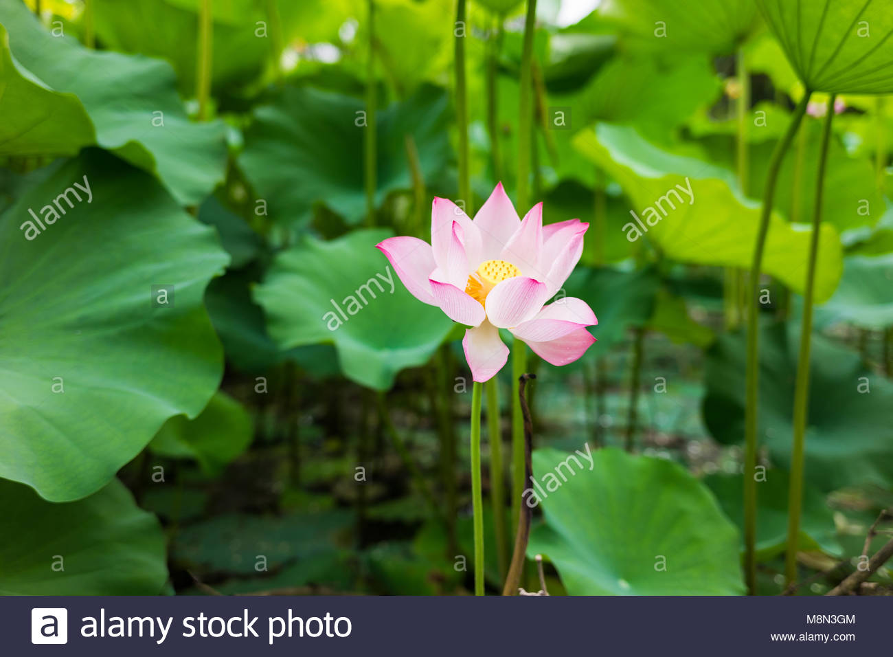 Pink Lotus Flower On Lake With Green Leaves Stock Photo 177484740