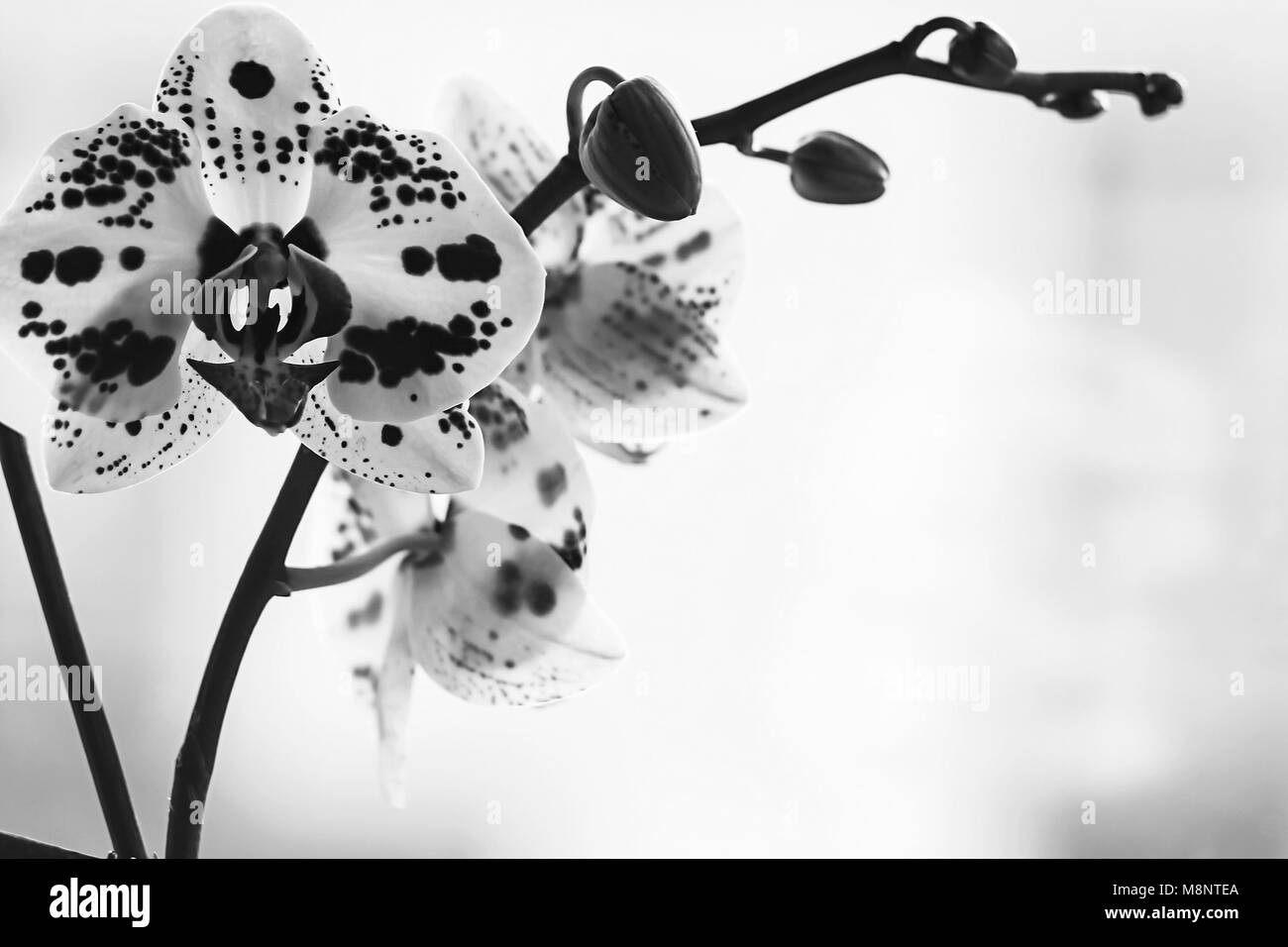 Beautiful Orchid Flower On A Window Black And White Poster Stock