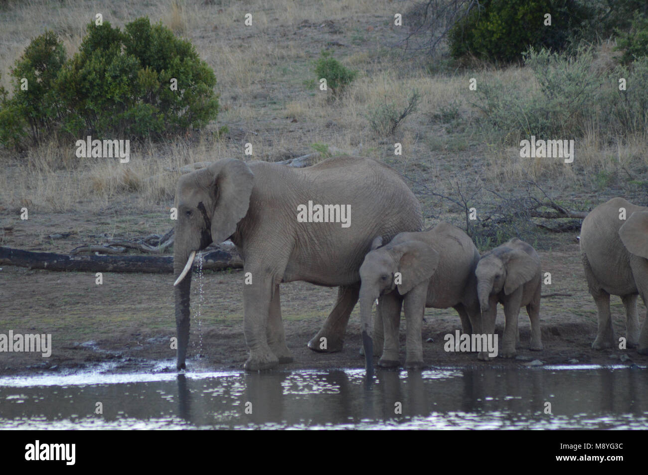 the fate of elephants at pilanesberg national park Assessing translocation outcome: comparing behavioral and physiological  translocated elephants' fate by  of white rhinoceros in pilanesberg national park,.