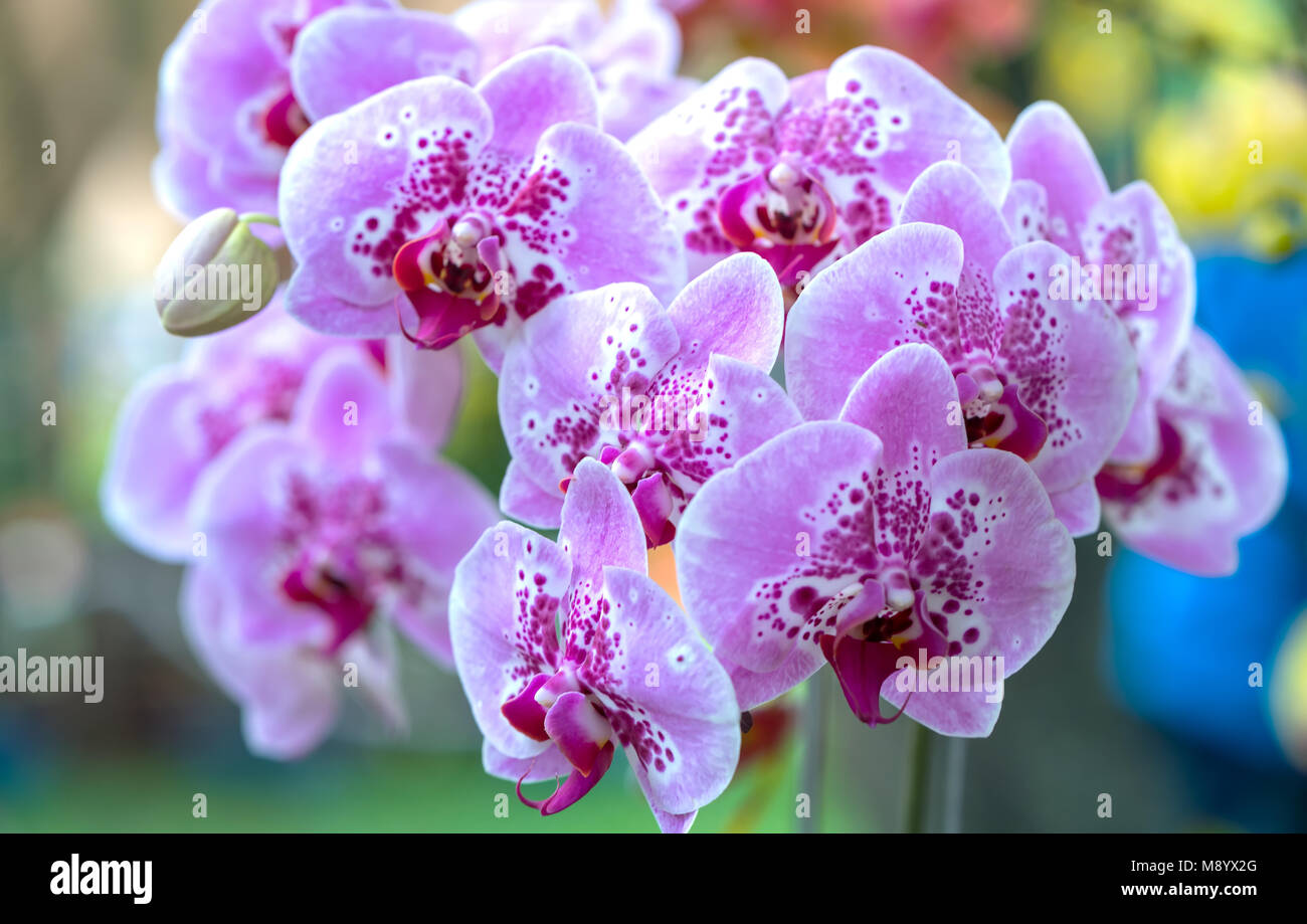 Phalaenopsis Flowers Bloom In Spring Adorn The Beauty Of Nature
