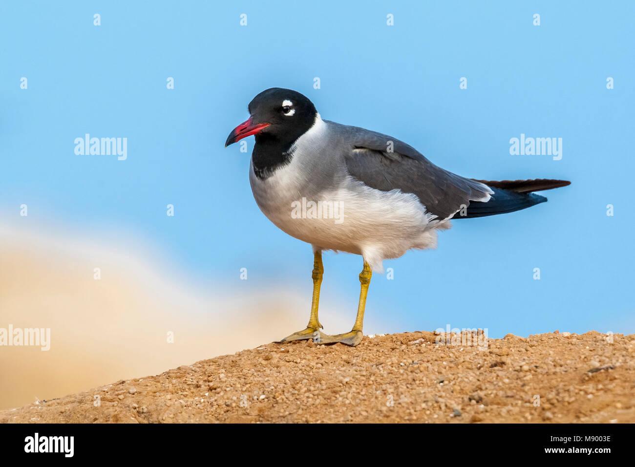 adult white-eyed gull near hurgadah dump, egypt stock photo