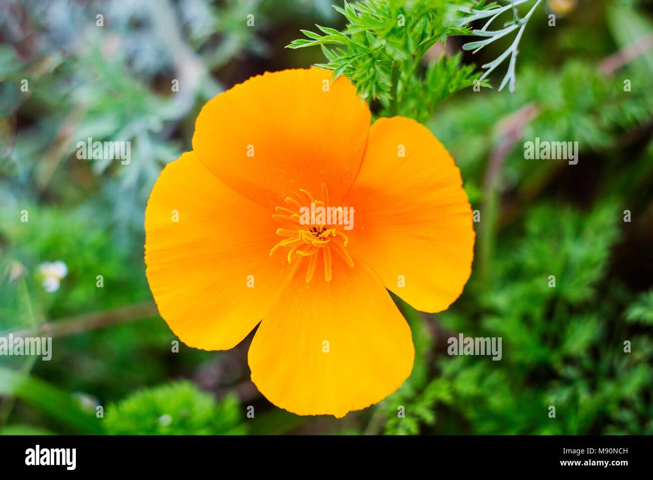 Orange flower eschscholzia californica california poppy orange flower eschscholzia californica california poppy californian poppy golden poppy california sunlight cup of gold in garden top view mightylinksfo
