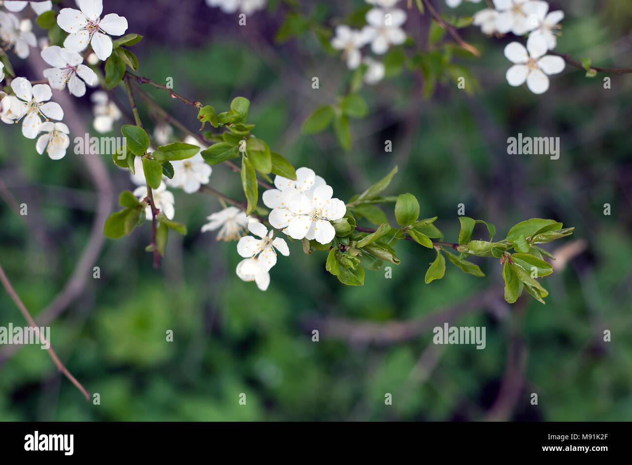 Blooming Cherry Plum Tree In Spring Day White Flowers Plum Tree
