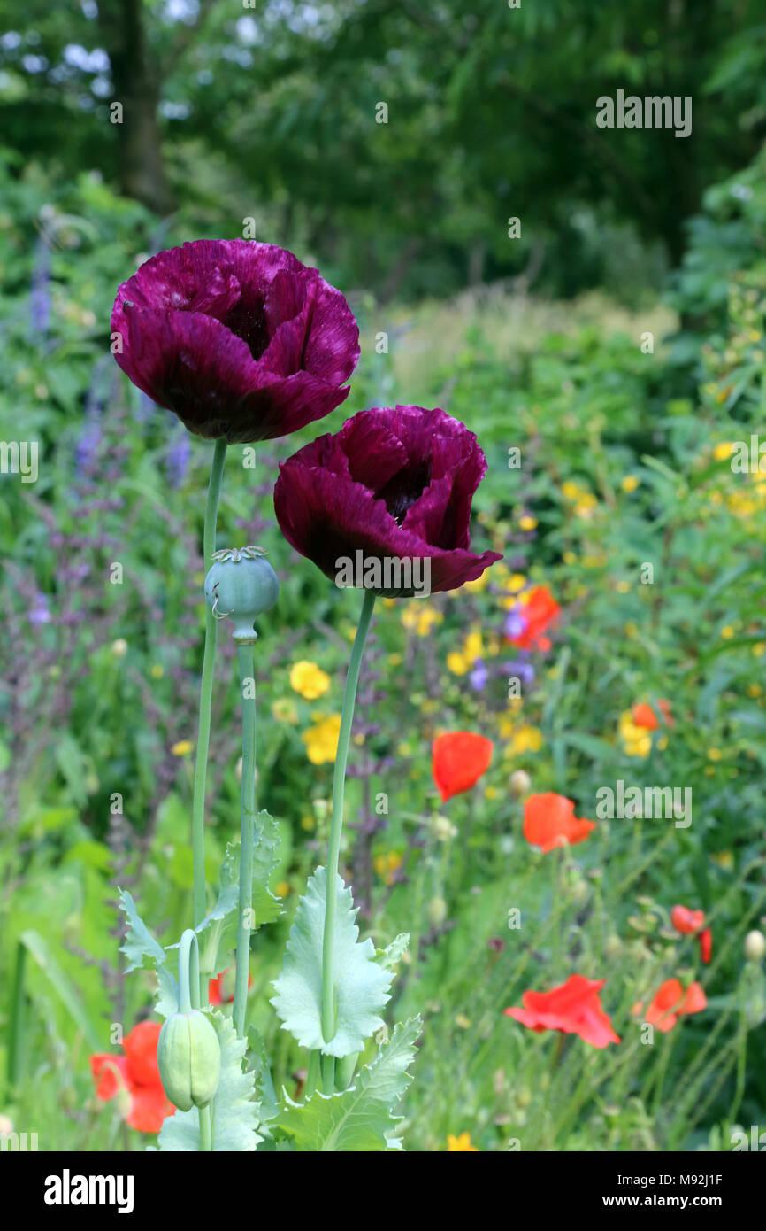 purple poppies in a field of wildflowers buckinghamshire uk stock