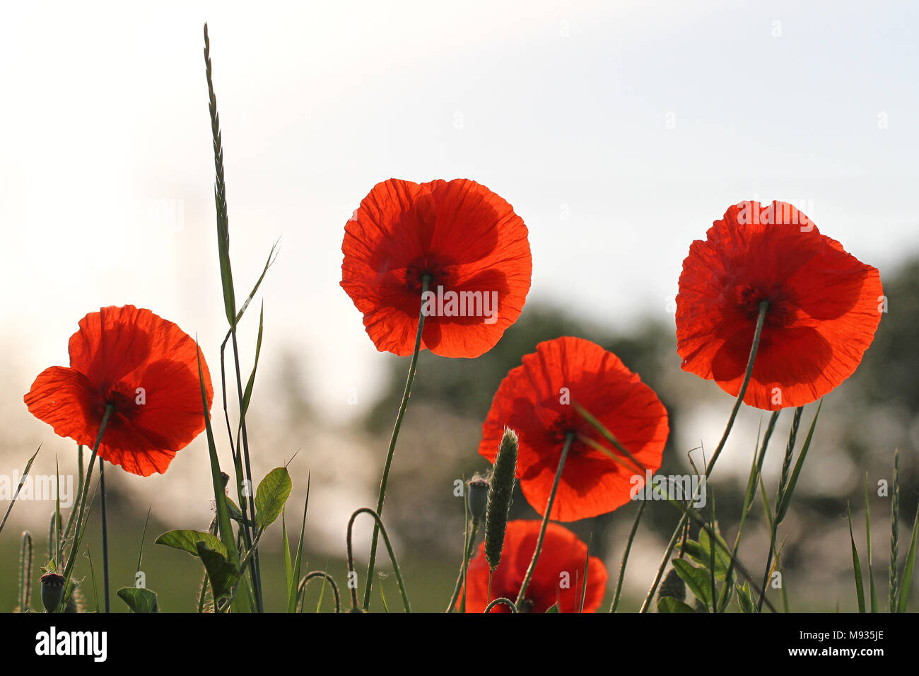Poppy flowers or papaver dubium poppies with the light behind poppy flowers or papaver dubium poppies with the light behind remembrance flower first world war remembering flanders fields poem by john mccrae mightylinksfo