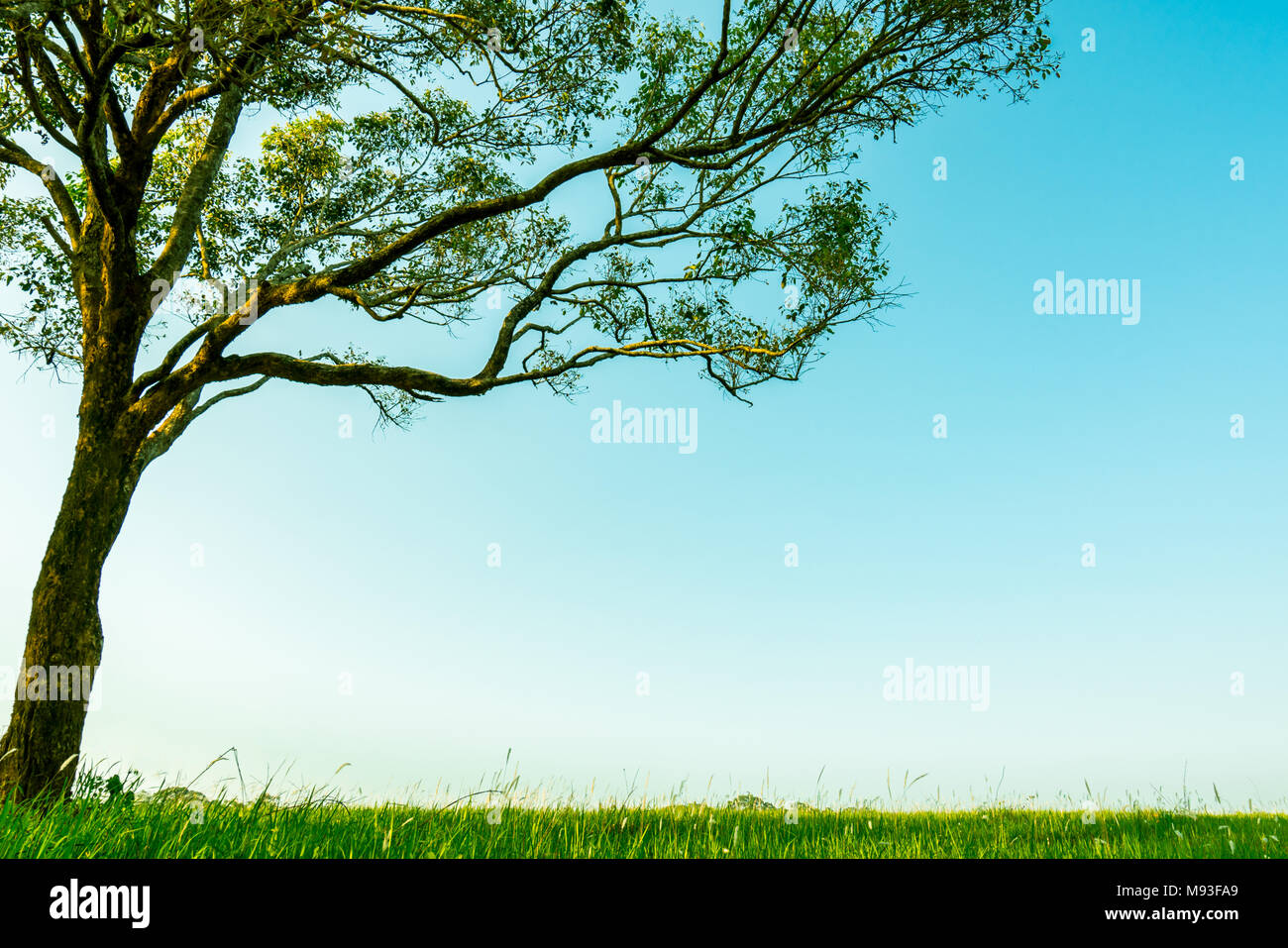 Big Green Tree With Beautiful Branches Pattern And Green Grass Field