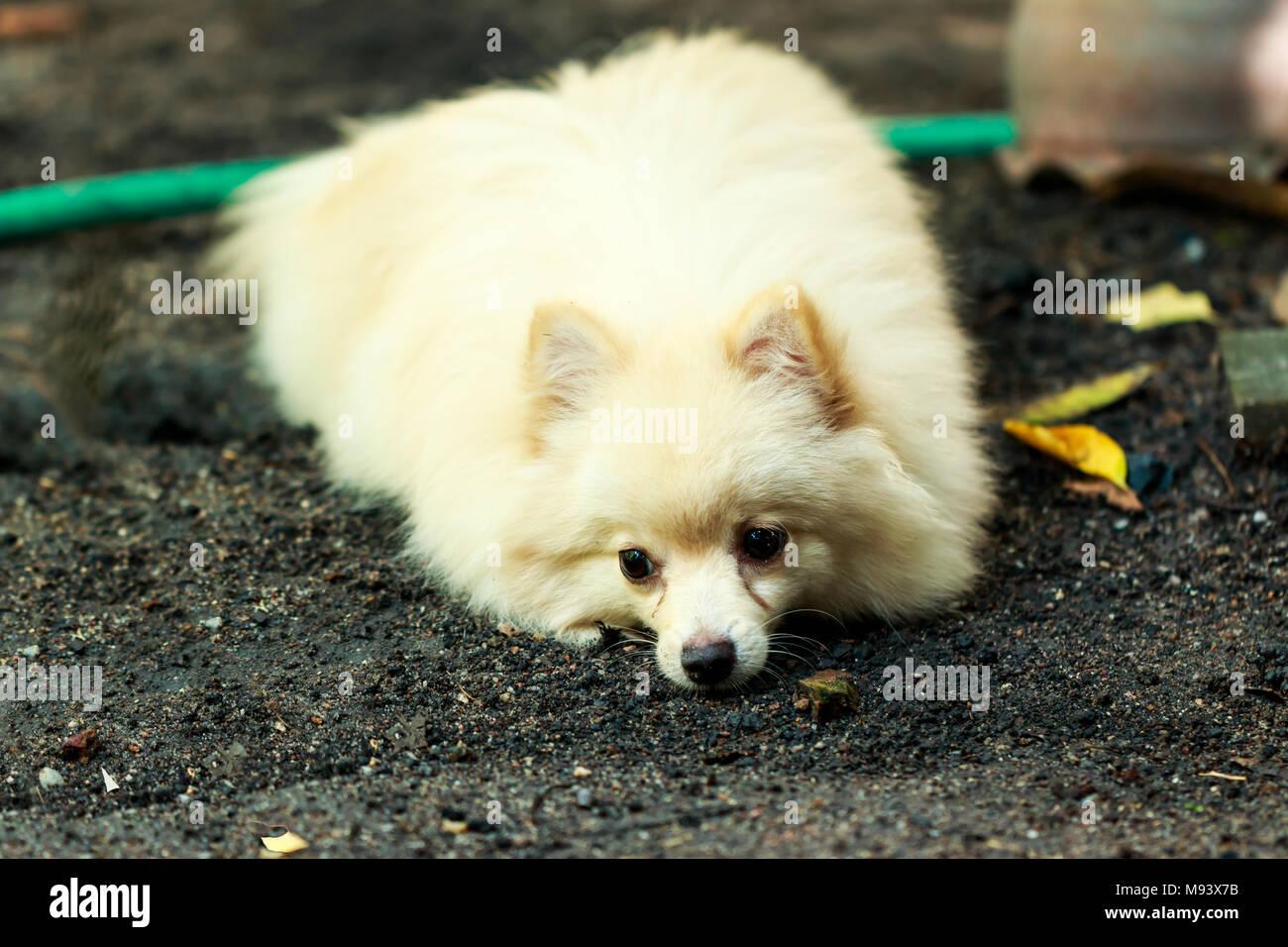 White Brown Pomeranian Puppy Dog Stock Photo 177722031 Alamy