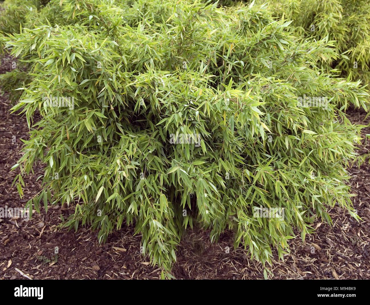 Bambus Fargesia Murielae Siver Bird Stock Photo 177732557 Alamy