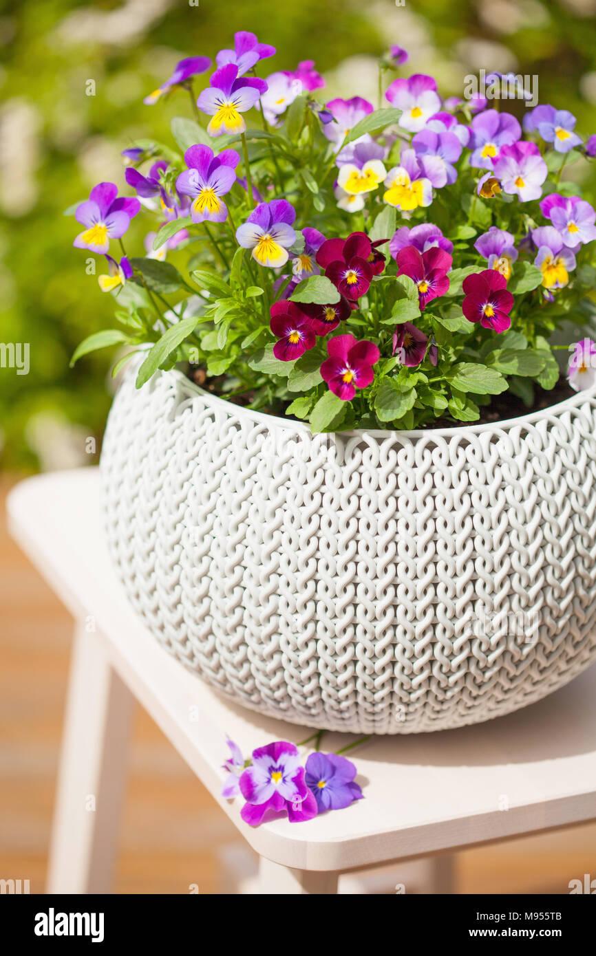 Beautiful pansy summer flowers in flowerpots in garden stock photo beautiful pansy summer flowers in flowerpots in garden izmirmasajfo