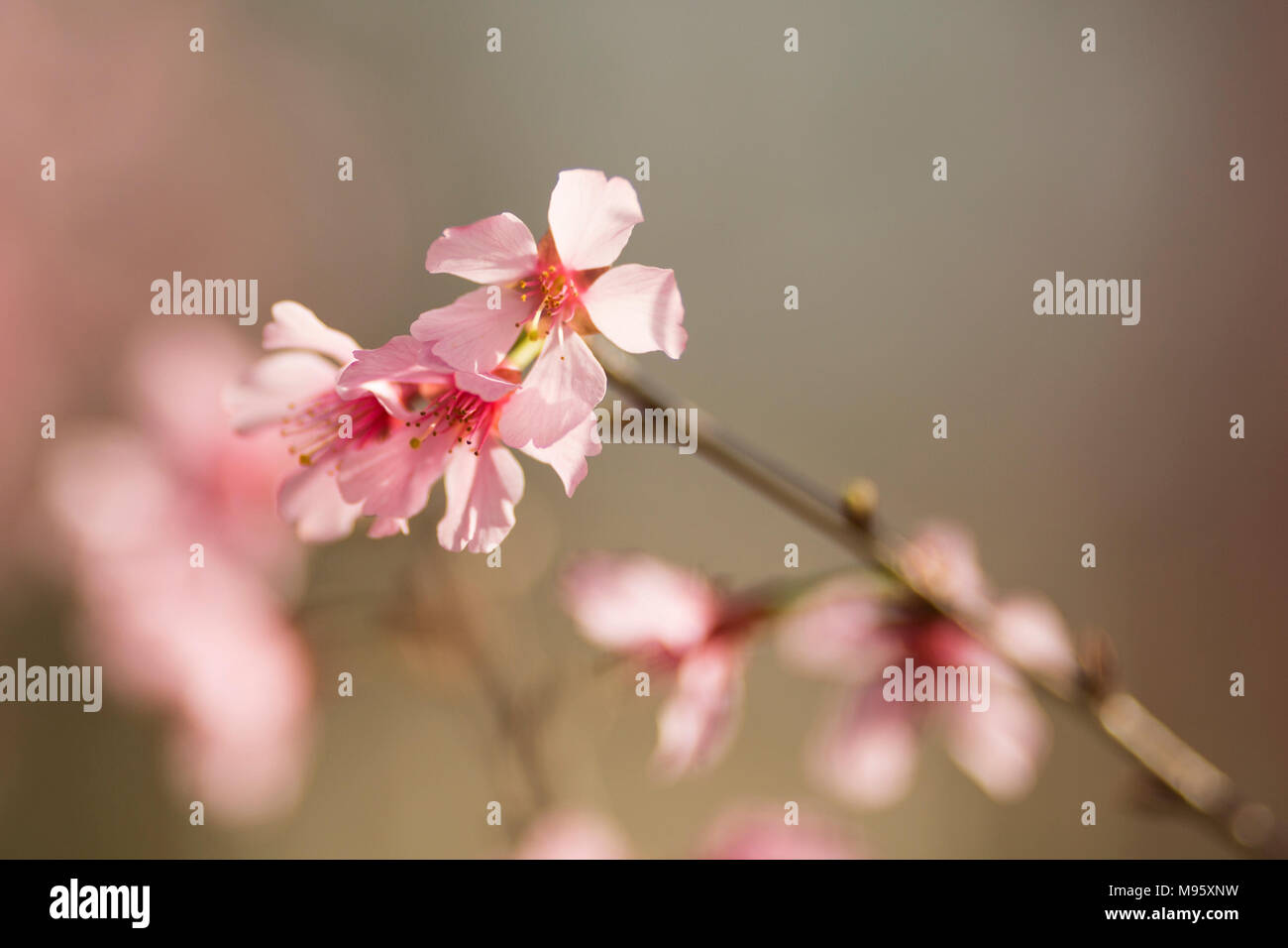 Cherry Trees Prunus Sargentii Blooming In The Spring In Atlanta