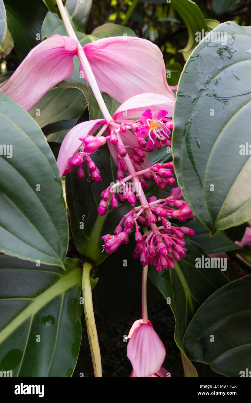 Pink flowers emerge from large bracts in the drooping infloresence pink flowers emerge from large bracts in the drooping infloresence of the tropical medinilla magnifica mightylinksfo