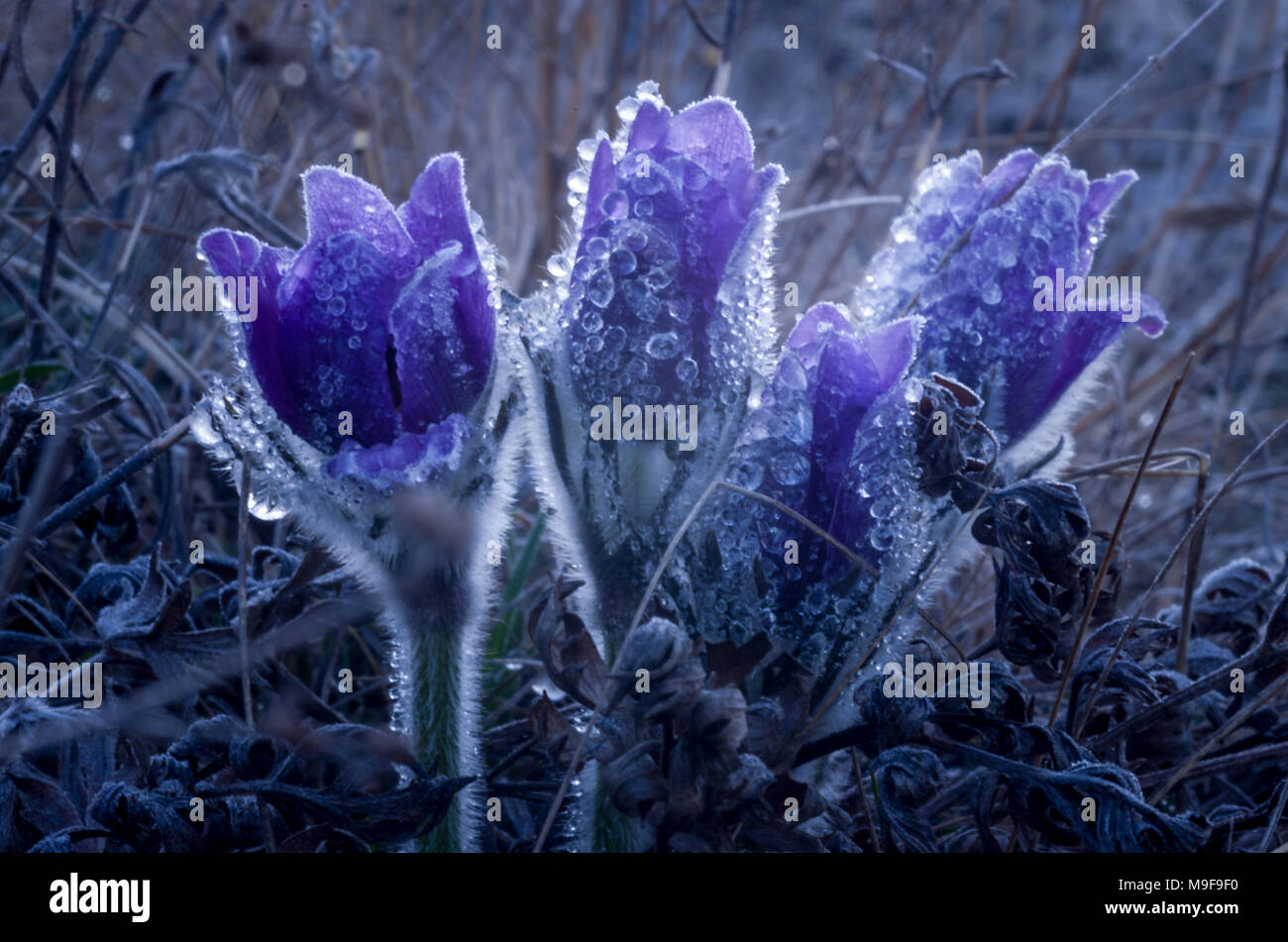 First Spring Flowers Snowdrops In Garden Stock Photo 177972340 Alamy