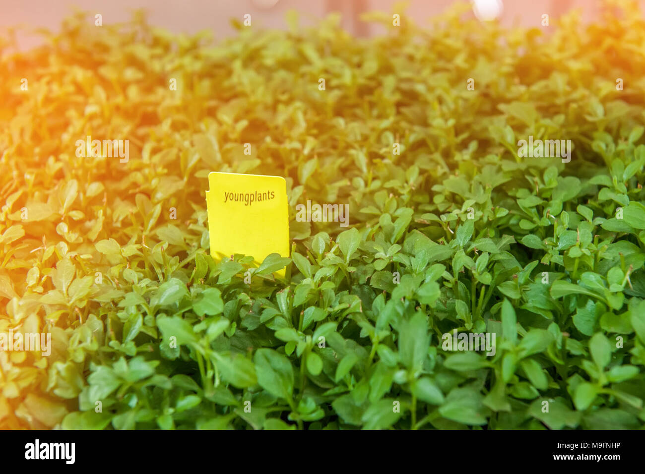 Seedlings Of Flowers And Vegetables Growing In Foam Containers In