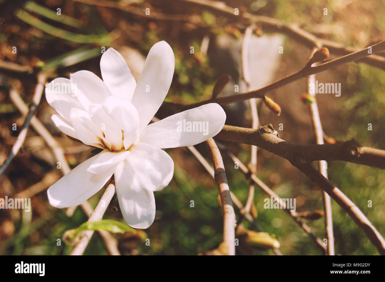 Spring flowers beautifully blossoming tree branch magnolia tree spring flowers beautifully blossoming tree branch magnolia tree blossom spring season mightylinksfo