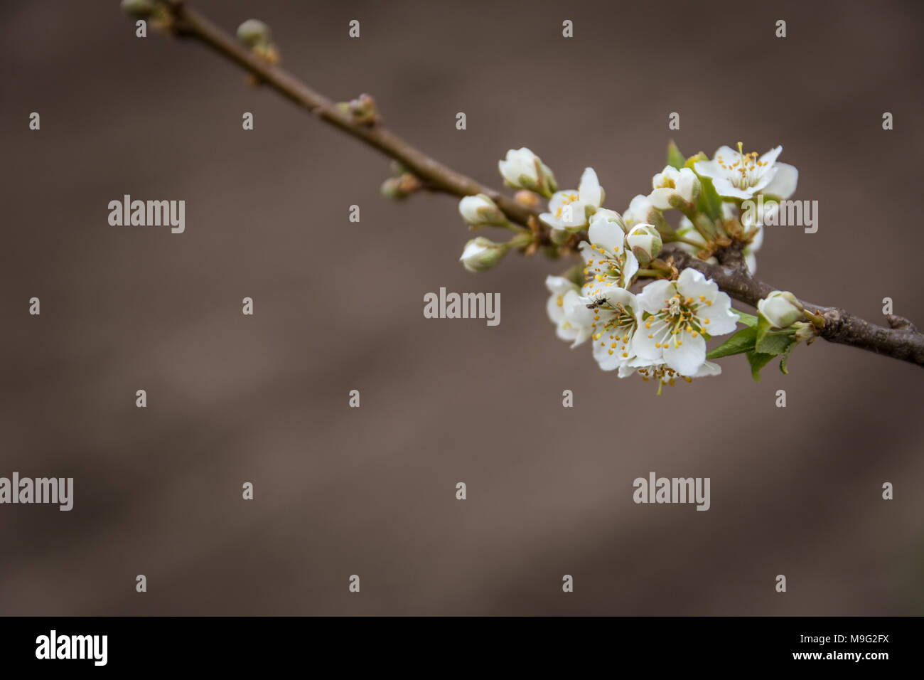 Blooming Plum Tree Branch Covered With Beautiful White Small Flowers