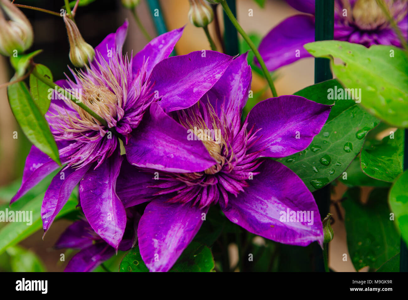 Close Up Big Purple Flowers Named Clematis Or President Flower Stock