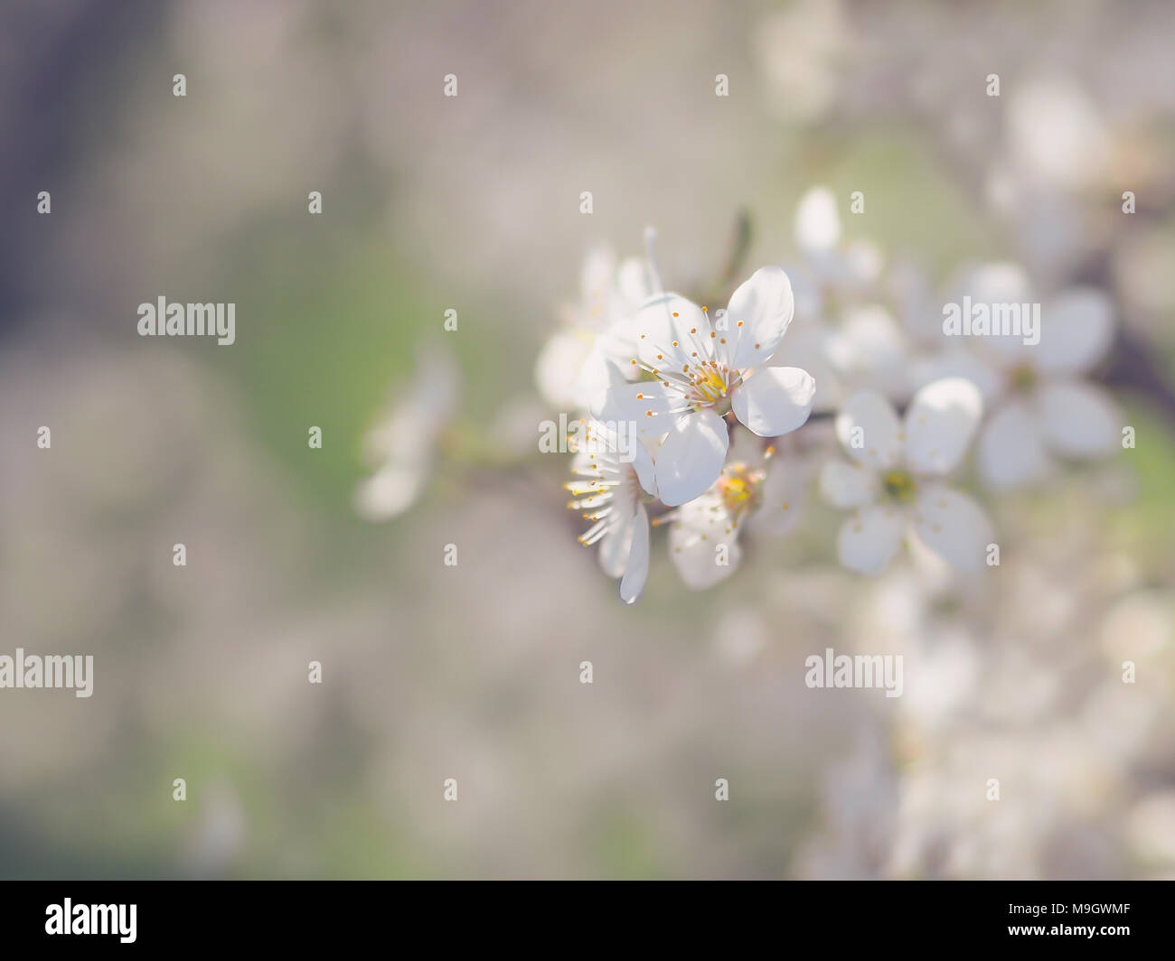Early Spring Wild Cherry Tree Bllossom With Tiny White Flowers Stock
