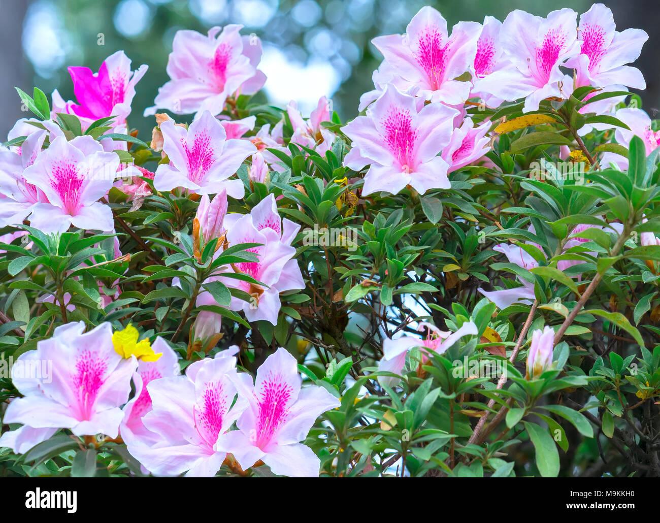 Azalea Flowers Bloom In The Flower Garden In The Early Spring