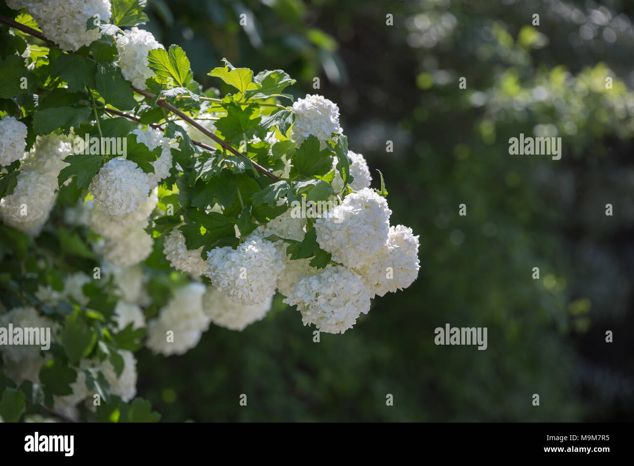 Ornamental Plant Snowball Viburnum White Flowers In A Garden Stock