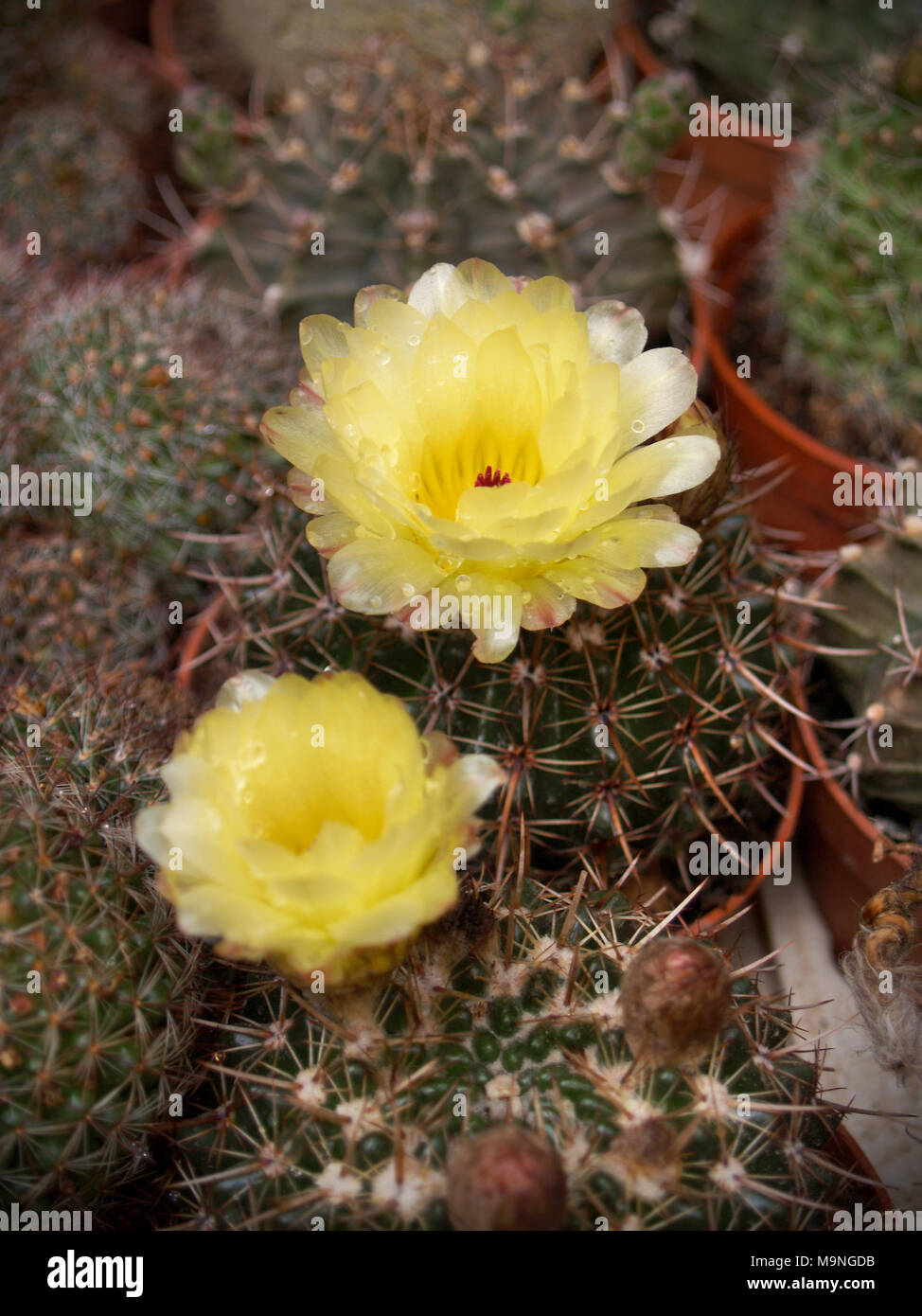 Various Cacti With Yellow Flowers Close Up Shot Stock Photo