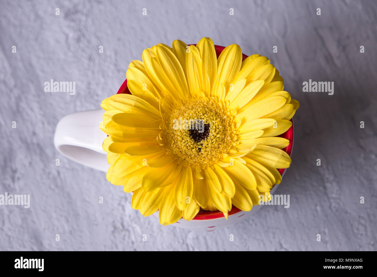Gerbera Daisy Yellow Flower Im Tea Cup On Grey Background Stock