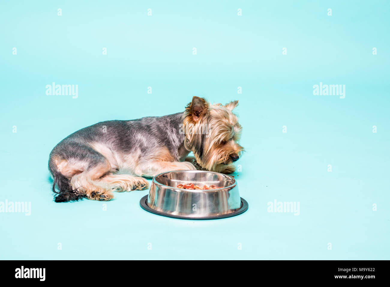 Yorkshire Terrier With Steel Bowl Looking At Camera Maybe Defend
