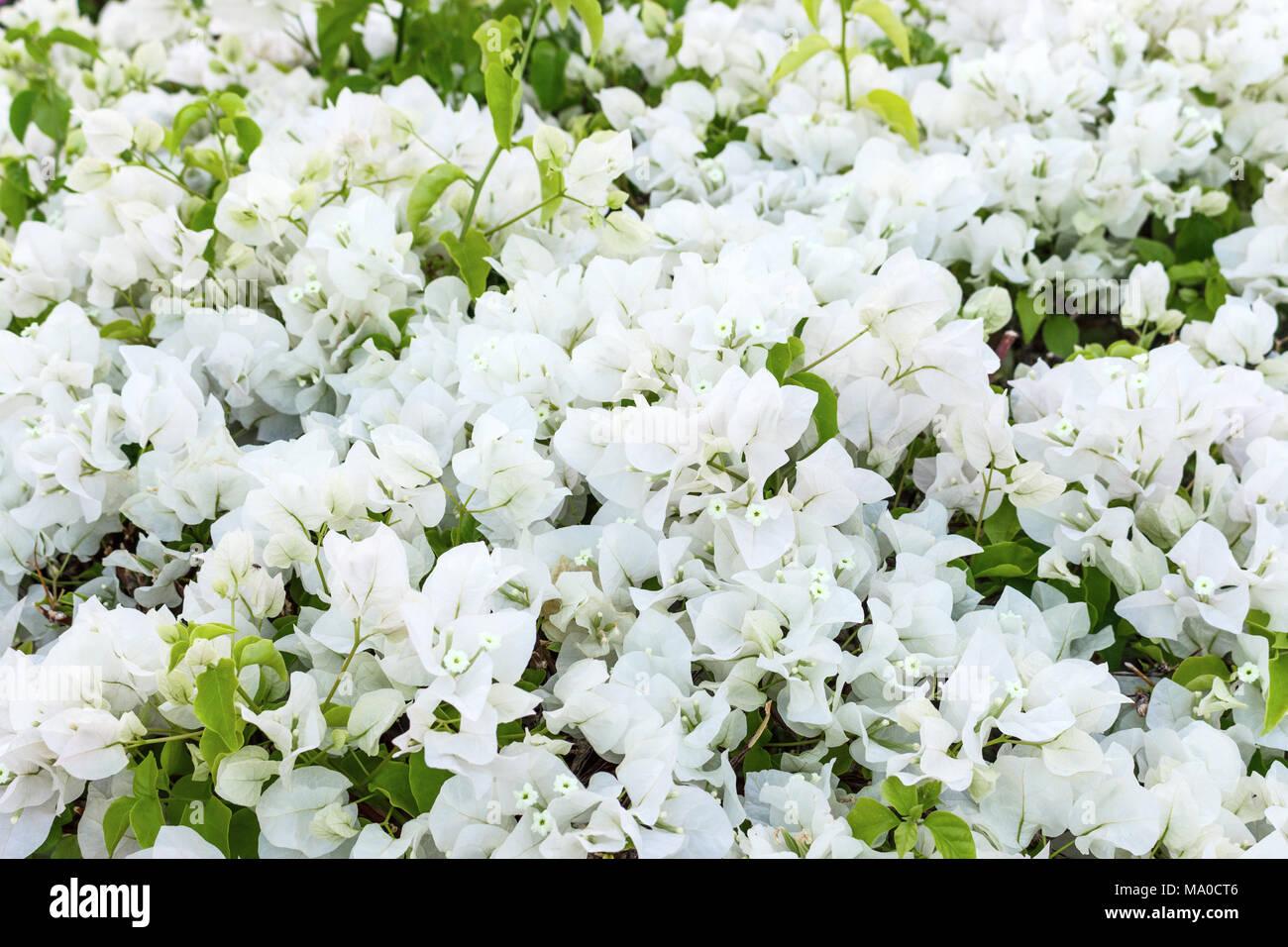 White small flower background gypsophila paniculata or baby breath white small flower background gypsophila paniculata or baby breath flowers mightylinksfo