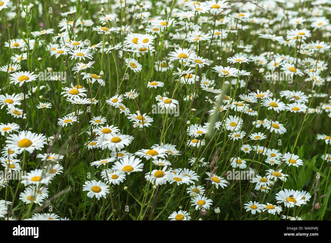 Beautiful White Daisies In The Wind Many Wild Meadow Of Daisy