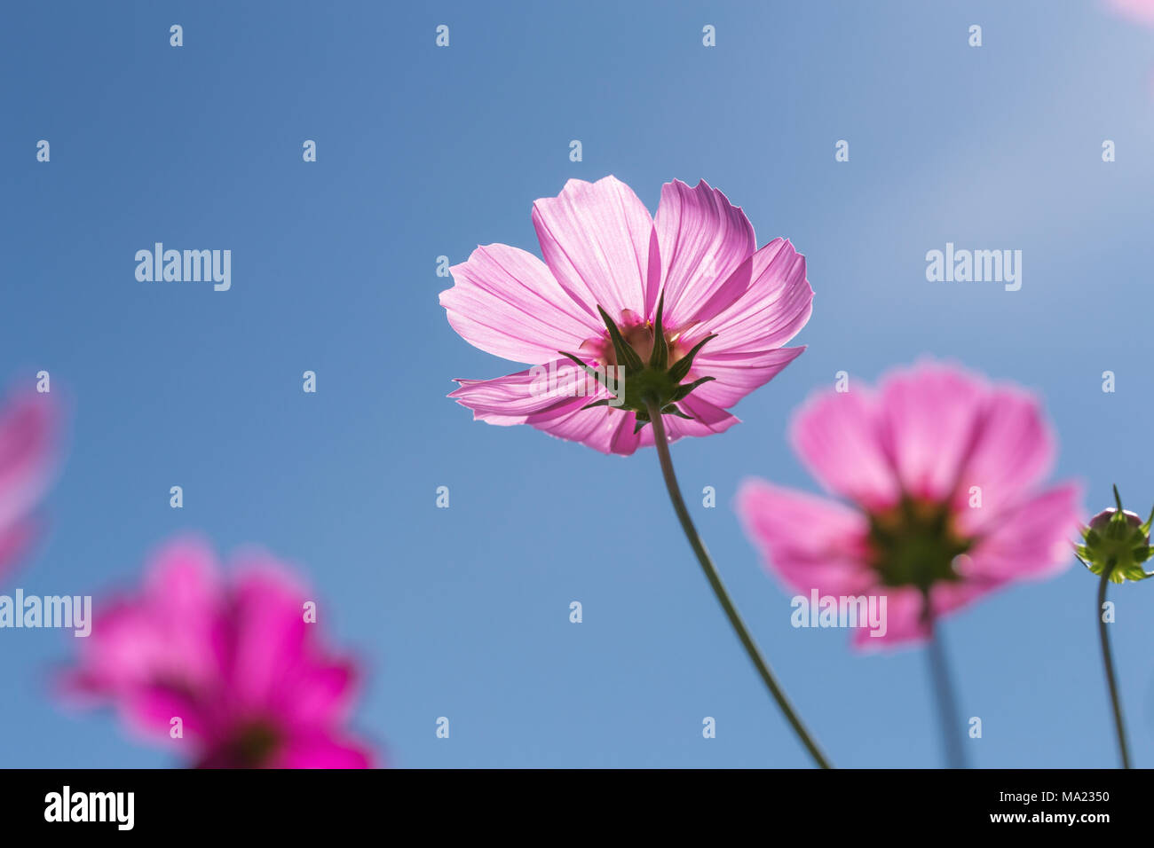Close Focus On Pink Cosmos Flower With Transparent Petals Touching Sunlight Clear Blue Sky As Background