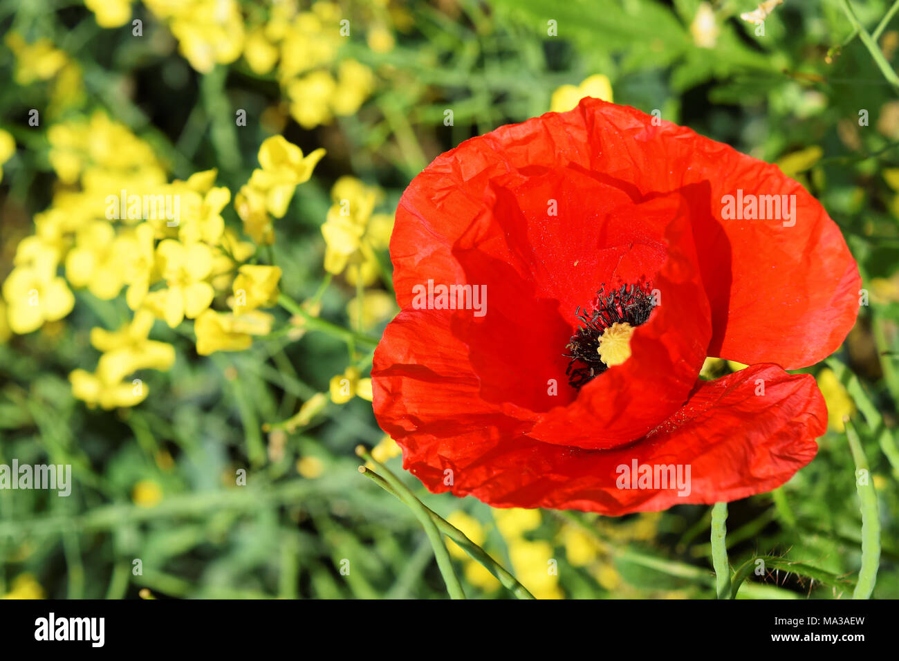 Poppy flower symbol of anzac day stock photo 178324353 alamy poppy flower symbol of anzac day mightylinksfo