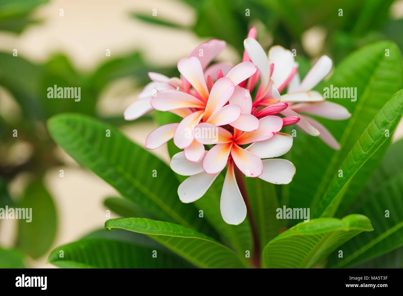 Pink plumeria flowers in garden thailand stock photo 178378915 alamy pink plumeria flowers in garden thailand mightylinksfo