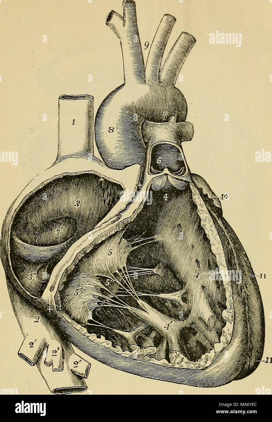 Elementary physiology . FiG. 64.—Interior of the right auricle and ...
