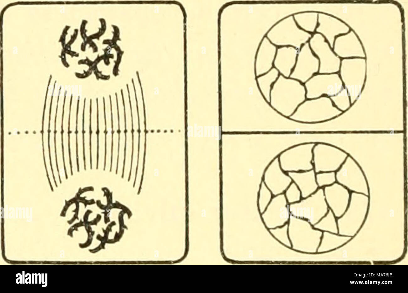 Cell division diagram stock photos cell division diagram stock elementary biology an introduction to the science of life 5 6 7 fig pooptronica Images